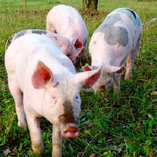 Weideschweine vom Sommerhof in Crailsheim